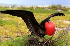 Male great frigatebird during mating dancing ritual Stock Image