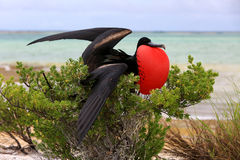 Male Great Frigate Bird during mating dancing ritual. Royalty Free Stock Photography