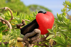 Male great frigatebird is attracting a female during mating season Stock Photos