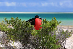Male Great Frigate Bird during mating season. Royalty Free Stock Image