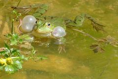 Male frog in mating season. Poland. Male frog in mating season. Swimming in a small pond, calling for a female. He is not even interested in the fly. Listening royalty free stock photo
