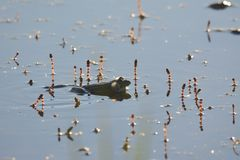 A male frog singing in the lake. A male frog singing in the lake Royalty Free Stock Photos