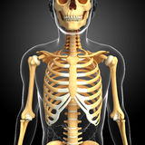 Male front view skeleton Stock Photos