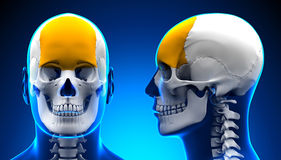 Male Frontal Bone Skull Anatomy - blue concept Stock Photo