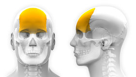 Male Frontal Bone Skull Anatomy - isolated on white Royalty Free Stock Image