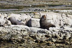 Male fur seal Stock Images