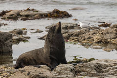 Male fur seal basking Stock Photo