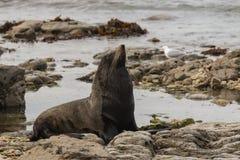 Male fur seal basking. On rocks Stock Photo
