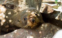 Male fur seal Royalty Free Stock Photography