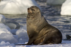 Male fur seal resting on a snowy bank Stock Photos