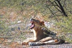 male gäspa barn för lion Kalahari nationalpark i Botswana Afrika Royaltyfri Bild