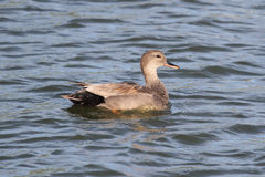 Male Gadwall Stock Images