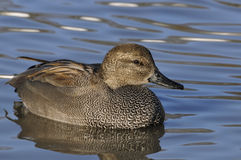 Male Gadwall duck Stock Image