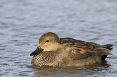 Male Gadwall Duck Royalty Free Stock Image