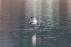 Male gadwall duck Anas strepera flying. Over water surface Royalty Free Stock Photos
