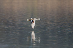 Male gadwall duck Anas strepera flying. Over water surface Royalty Free Stock Image