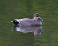 Male Gadwall Duck Royalty Free Stock Images