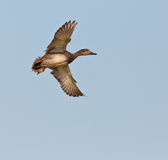 Male Gadwall duck in flight Royalty Free Stock Photography