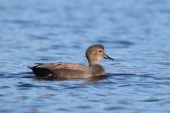 Male Gadwall duck swimming on a blue lake Stock Photos