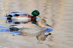 Male Gadwall and Mallard. Male Gadwall swimming past a Mallard Stock Photo