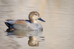 Male Gadwall. A Male Gadwall swimming in the pond on a sunny day stock images