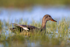 Male Gadwall swimming in wetland Royalty Free Stock Photography