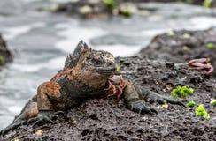 A male of Galapagos Marine Iguana and crab. A male of Galapagos Marine Iguana resting on lava rocks Amblyrhynchus cristatus. The marine iguana on the black Royalty Free Stock Photos