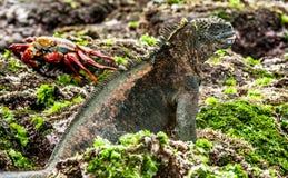 A male of Galapagos Marine Iguana Royalty Free Stock Photos