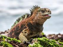 A male of Galapagos Marine Iguana Royalty Free Stock Photo