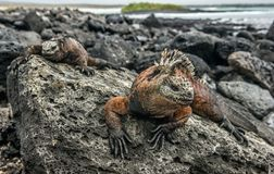 A male of Galapagos Marine Iguana resting on lava rocks Amblyrhynchus cristatus. The marine iguana on the black stiffened lava. Galapagos Islands stock image