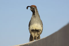 Male Gambel's(california) Quail. A colorful male gambel's (california) quail on a fence Royalty Free Stock Photo