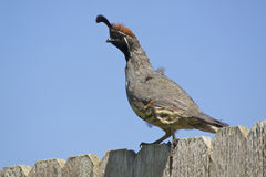 Male Gambel's(california) Quail Stock Image
