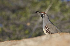 Male Gambel's(california) Quail Royalty Free Stock Photos