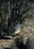 Male Gambel's(california) Quail. A male gambel's quail standing under a thorny bush Royalty Free Stock Photos