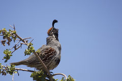 Male Gambel's(california) Quail Caliing Stock Photos