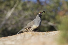 Male Gambel's Quail Stock Photos