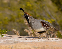 Male Gambel's Quail. Gambel's Quail (or Gambles Quail) are fast running game birds generally found in the warm deserts of south west America Stock Photo