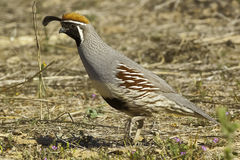 Male Gambels Quail running Stock Photo