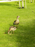 Male Gander with gosling Royalty Free Stock Image