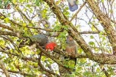 Male Gang-gang cockatoo  - Australian native bird.  Royalty Free Stock Image