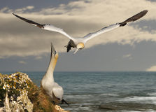 Male Gannet returns. A male Northern Gannet returns to its mate, ready to take over looking after their egg Royalty Free Stock Photography