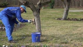 Male garden specialist whitewash trees in spring season. stock footage