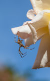 Male Garden Spider. Hunting lying in wait for prey Stock Images
