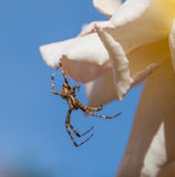 Male Garden Spider. Hunting lying in wait for prey Royalty Free Stock Images