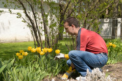 Male Gardener. A male gardener taking care of his yellow tulips Royalty Free Stock Photo