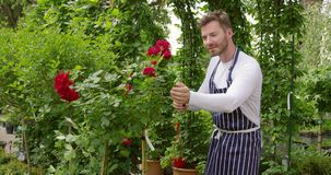 Male gardener cutting flowers. Handsome man doing horticulture job standing in garden and cutting the red flowers stock footage