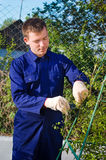 Male gardener tying branches Stock Photography