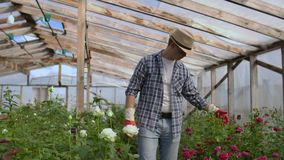 A male gardener is walking through a greenhouse with gloves looking and controlling the roses grown for his small stock video footage