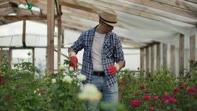 A male gardener is walking through a greenhouse with gloves looking and controlling the roses grown for his small stock footage