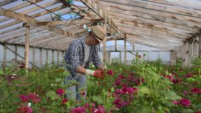 A male gardener is walking through a greenhouse with gloves looking and controlling the roses grown for his small stock video